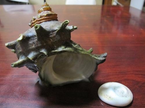 巨大サザエの殻