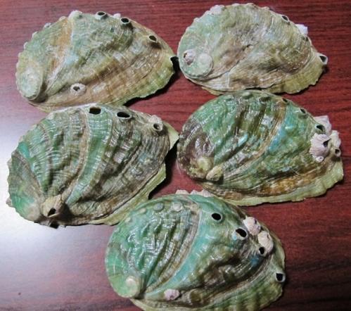 クロアワビ殻