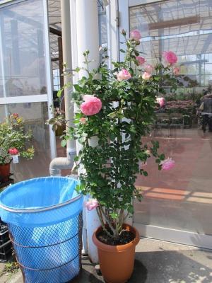 浜北緑花木センター 薔薇