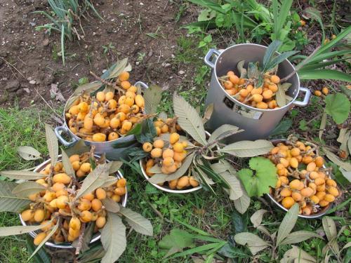 ビワの収穫