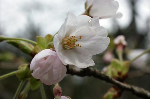 三崎公園 桜02810