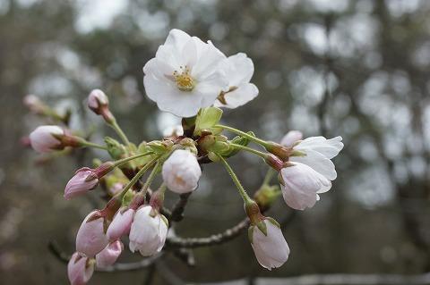 三崎公園 桜02811