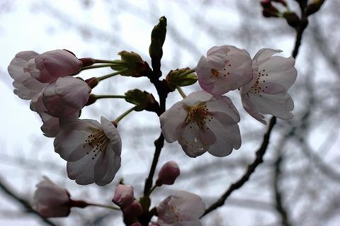 三崎公園 桜02813