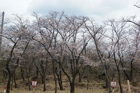 三崎公園 桜02828