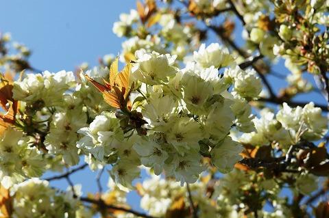 黄桜03136