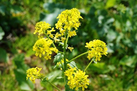 菜の花まつり03288