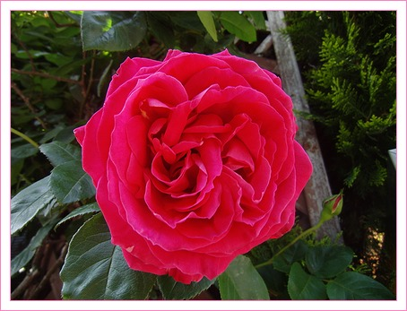 庭のバラが咲き始めた