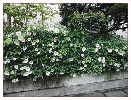 ナニワイバラが咲きました