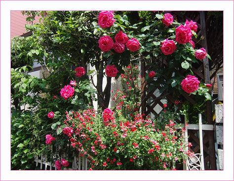 見事に咲いたバラです