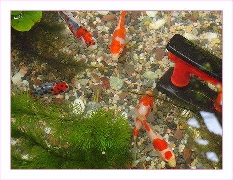 金魚癒し系