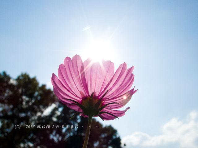 2013年9月 大阪・長居植物園 コスモス3