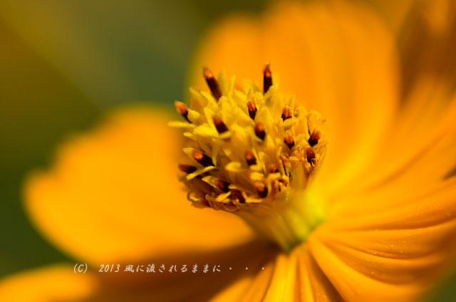 2013年9月 大阪・長居植物園 キバナコスモス1