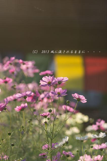 2013年 奈良・般若寺 コスモス11