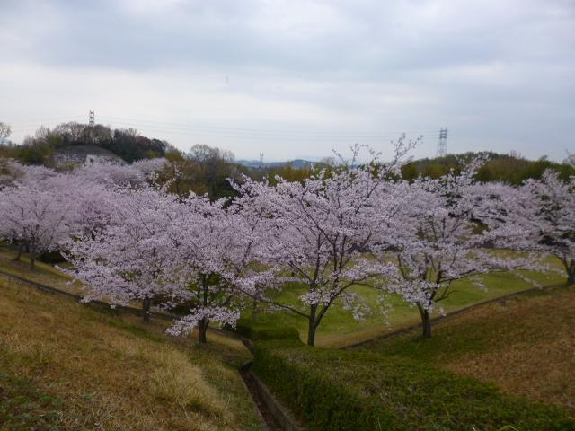 高松空港公園は隠れた桜の名所です