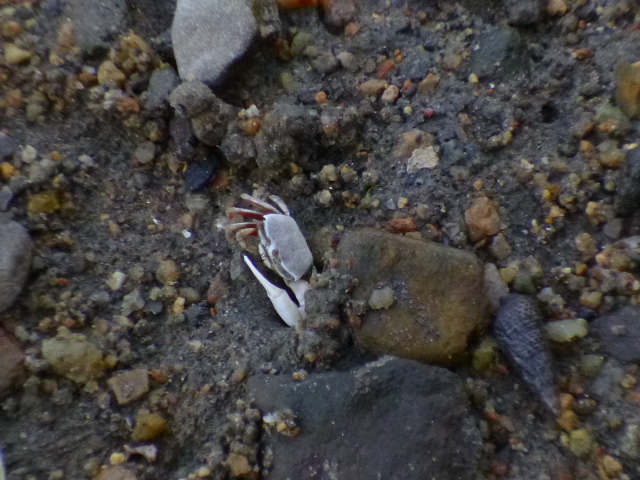 干潟にはチゴガニ,少し上がって県道脇にはアカテガニなんかが見られます