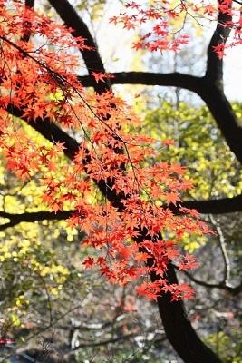 紅葉131127神代植物公園 (34)T済、S済