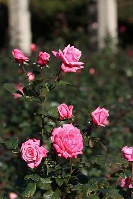 薔薇ジーン・バーナー131127神代植物公園 (2)T済、S済