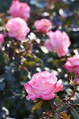 薔薇チェリッシュ131127神代植物公園 (2)T済、S済