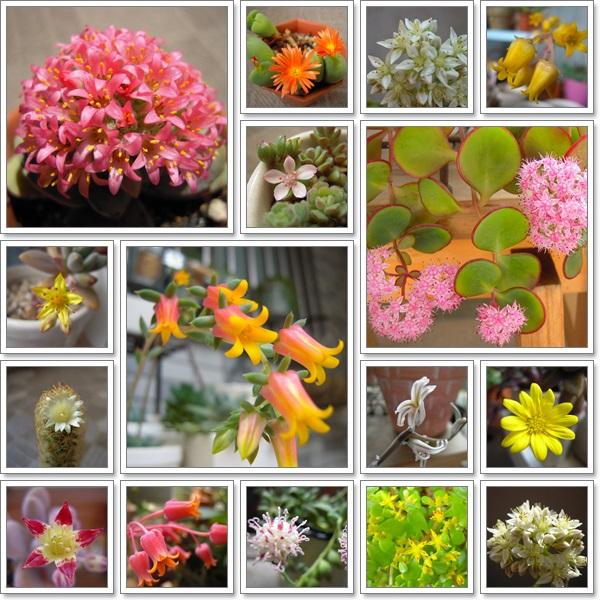 多肉のお花たち