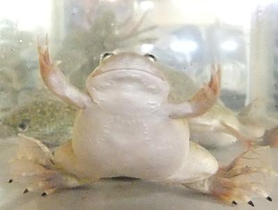 肥過ぎだよね・・餌ガエル