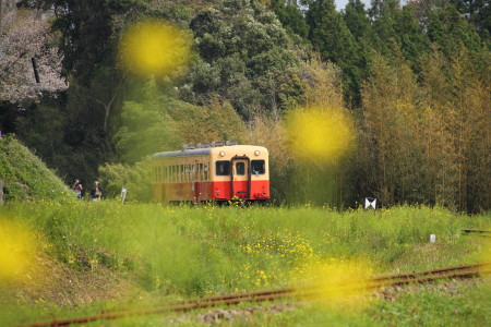 電車と菜の花2