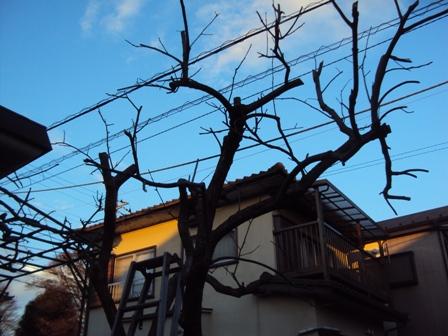 柿の木の剪定後