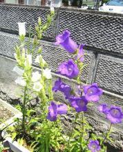 カンパニュラ白&紫