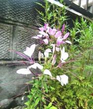 西洋風蝶草