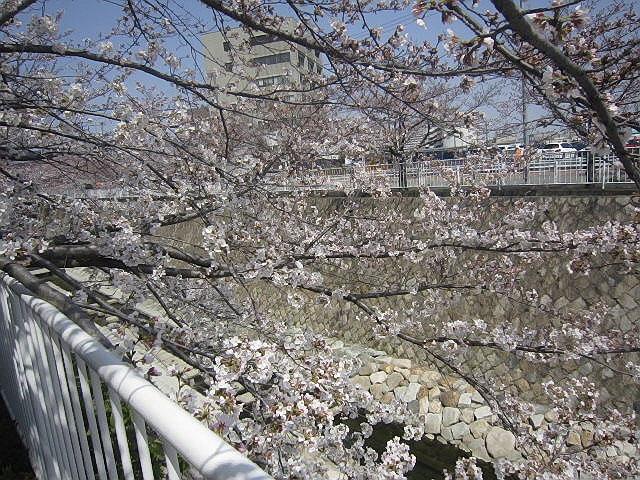 2013.3.30今年も妙法寺川でこじんまりお花見(*^_^*)