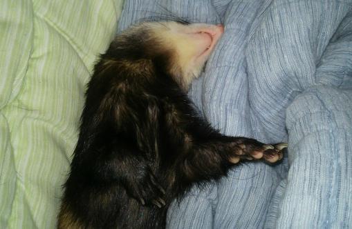 布団で寝んねのミッキー君1