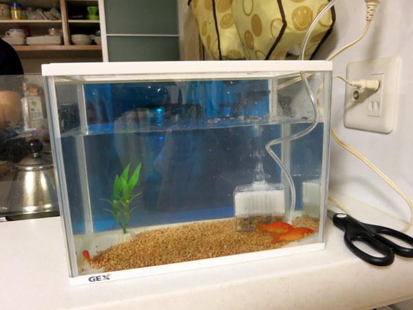 金魚13.8.25