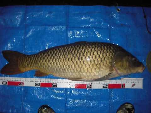 中川 鯉 85cm