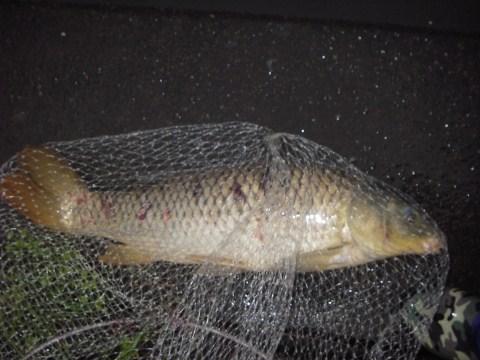 中川 鯉 70cm