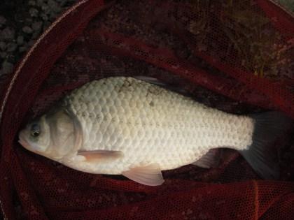 中川 半ベラ?鯉ベラ 28cm
