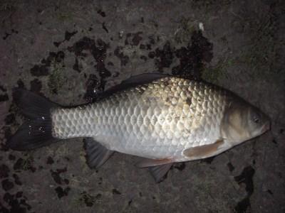 中川 鯉ベラ 29cm