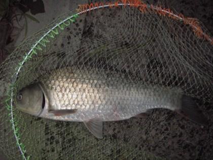 中川 鯉ベラ 50cm