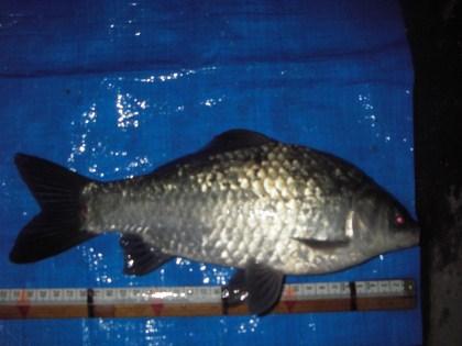 中川 鯉ベラ 31cm