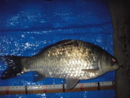 中川 鯉ベラ 32cm