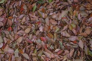 楠の落ち葉