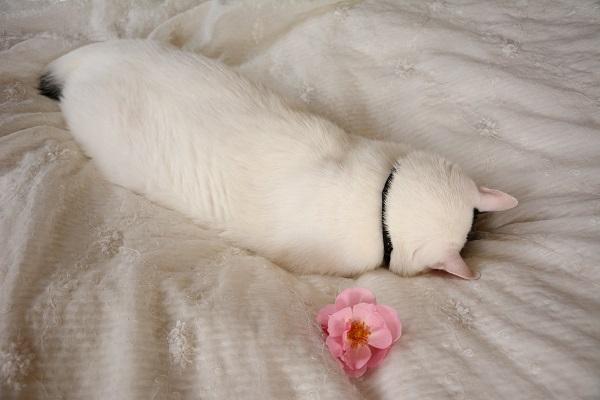寝てる間に、花置いて撮っちゃおうKotechai_6222s