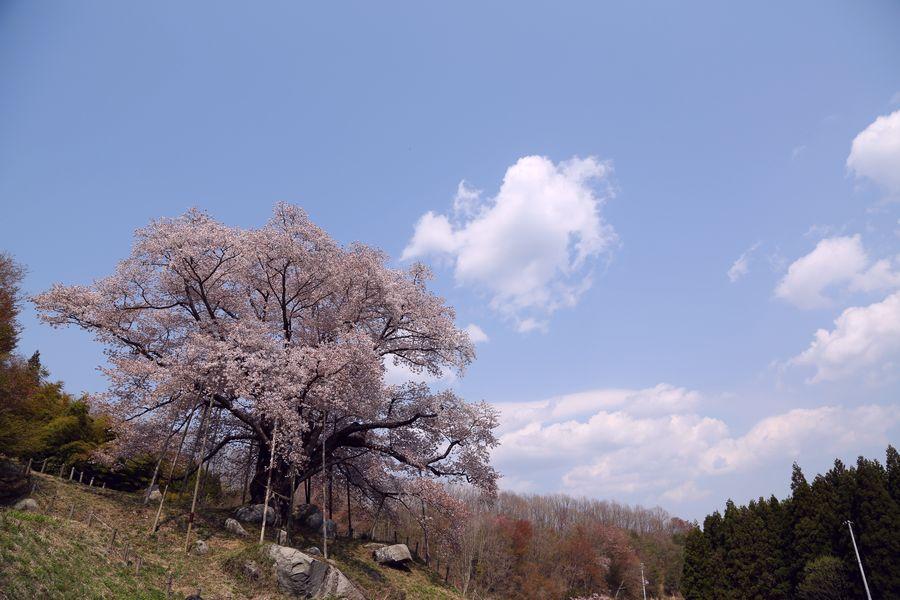 越代の桜05