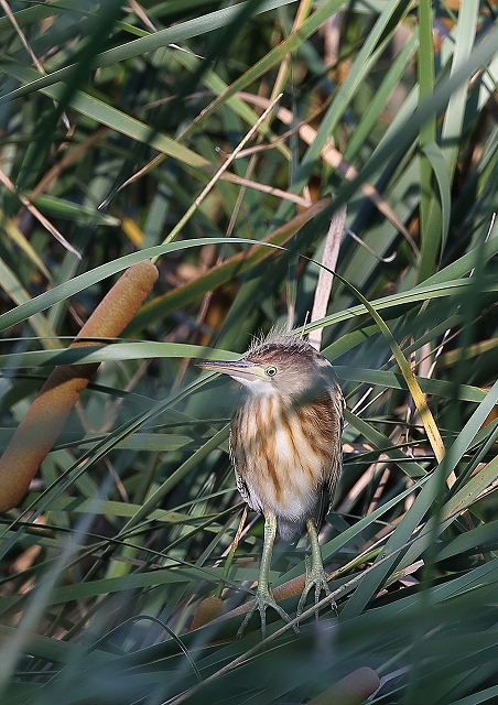 ヨシゴイ幼鳥