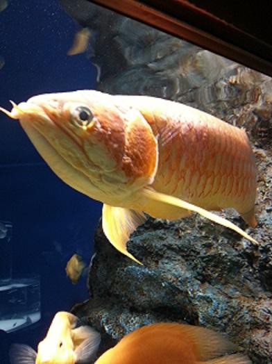 山の水族館 アロワナ