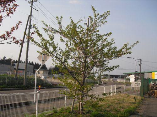 大館 桜①