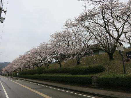 2013sakura