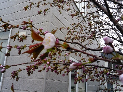 2013年の開花