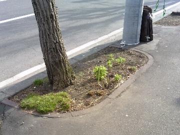 街路樹の根元