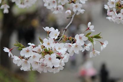 会津の桜1