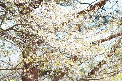 5月12日の桜