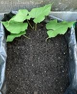 土壌栽培☆大きい芋を育ててね